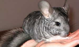 Chinchilla domestica