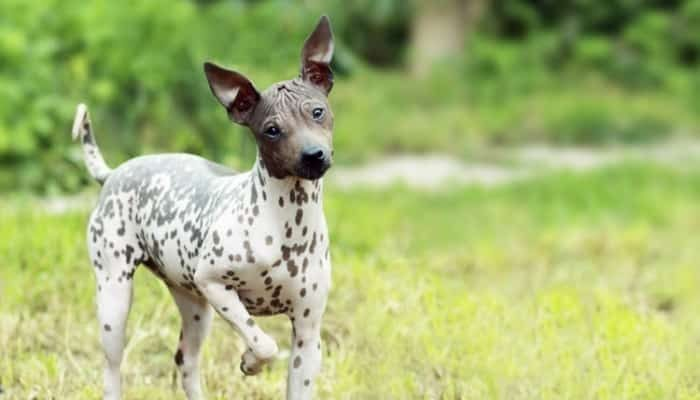 raza American Hairless Terrier