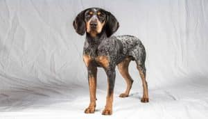 Raza Bluetick Coonhound