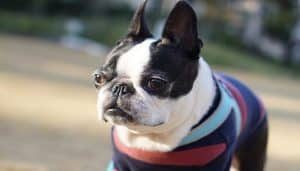 Raza Boston Terrier