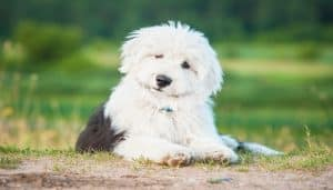 Raza Old English Sheepdog