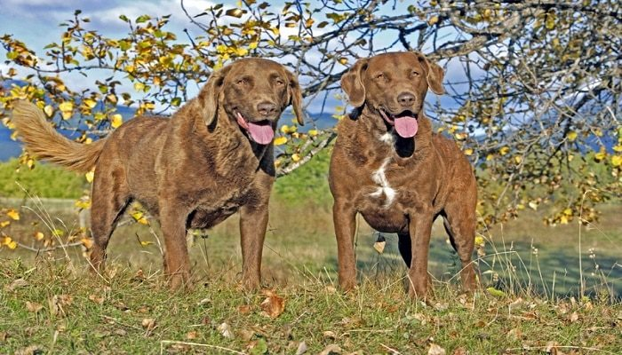 Raza Retriever De Chesapeake