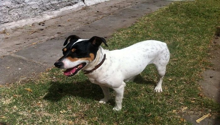 Raza Fox Terrier Chileno