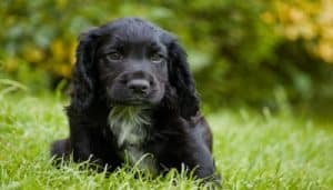 Raza Cocker Spaniel