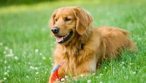 Raza Golden Retriever