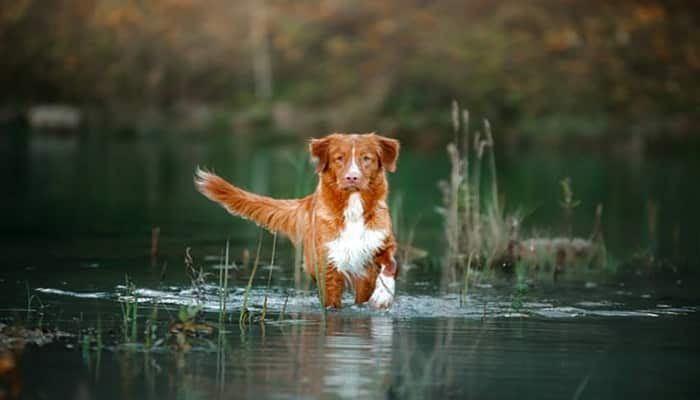 Raza Nova Scotia Duck Tolling Retriever