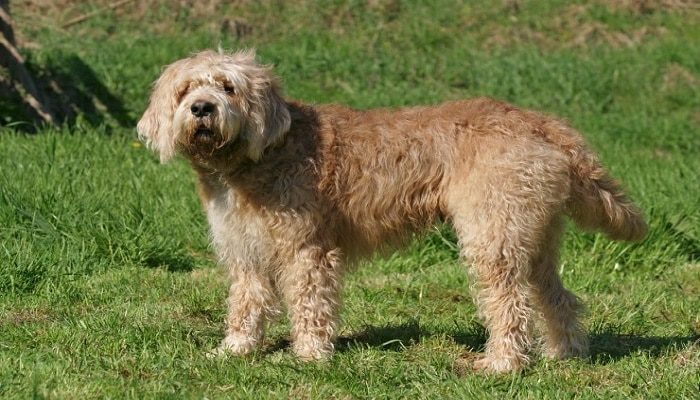 Raza Otterhound