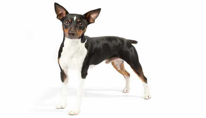 Raza Rat Terrier
