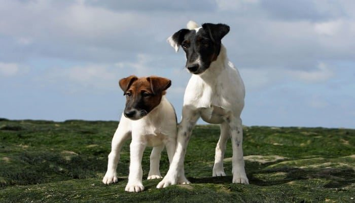 Raza Fox Terrier