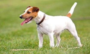 Raza Parson Russell Terrier