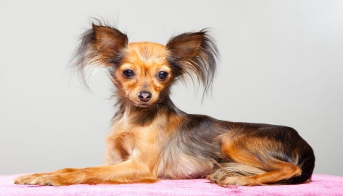 Toy Terrier Ruso