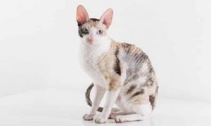 Cornish-Rex-1