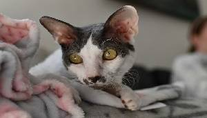 4.- Cornish Rex