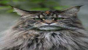 5. Maine Coon