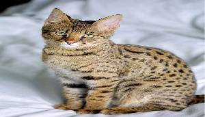 6.- Savannah Cat
